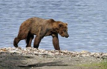 Молодой медведь, бредущий по берегу озера Naknek Lake.