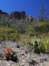 Семейка алых кактусов Claret Cup в Сосновом каньоне.