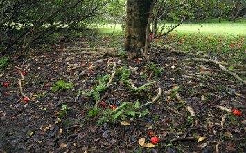 Корни тюльпанного дерева и гуавовый лес вокруг. Тропа Pipiwai.