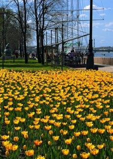 Весенние тюльпаны на Адмиралтейской набережной.