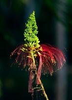 Цветок Калиандра (Calliandra calothyrsus) или Ангельские волосы. Американский эндемик.