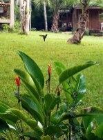 Колибри застыла над цветком геликонии. Кемпинг Trek Stop.