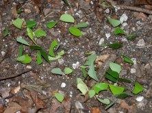 Муравьи-листорезы в процессе переноса своей добычи. Ночной поход по джунглям.