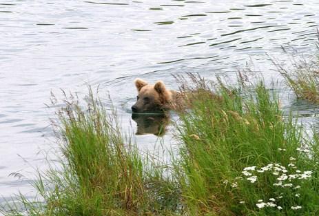 Мишка в реке.