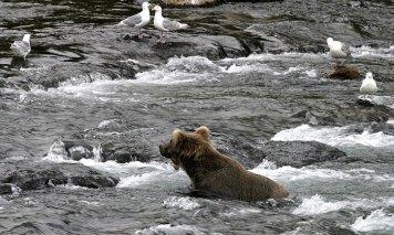 Молодой медведь в реке в окружении чаек.