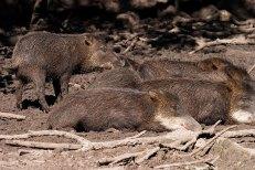 Пекари (дикие свиньи) отдыхают в любимой грязевой луже. Belize Zoo.