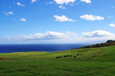 Коровы на пастбище у деревни Kahakuloa.