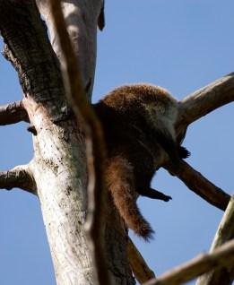 Коатимунди (носуха) дрыхнет на дереве. Belize Zoo.