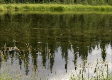 Отражения елей в глади озера Horseshoe Lake.