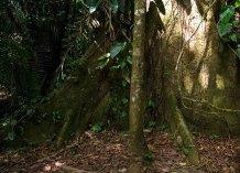 Основание священного дерева Ceiba Tree (Ceiba pentandra). Заповедник Cockscomb basin Wildlife Sanctuary.