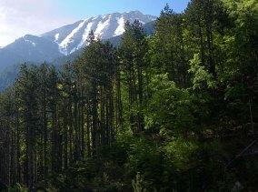 Кедровые леса на нижних склонах горной системы Олимп.