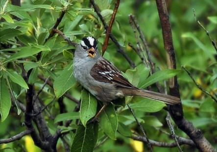 Полосатый воробей (White-crowned sparrow) в зарослях вдоль Savage river.