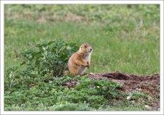 Луговые собачки (лат. Cynomys) — грызуны из семейства беличьих.