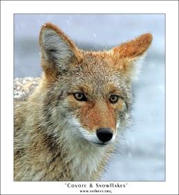 """""""Койот и снежинки"""". Присыпанный первым снежком койот, пытается раздобыть чего-нибудь поесть."""