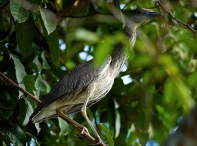 Детеныш ночной цапли Yellow-crowned night-heron (Nyctanassa violacea). Belize river.