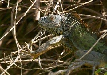Самка зеленой игуаны с янтарными глазами. Belize river.