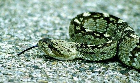 Гремучая змея Blacktail Rattlesnake. Снимок сделан с расстояния метра, с риском для жизни.