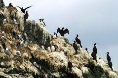 Бакланы и чайки на склоне острова Gull Island.