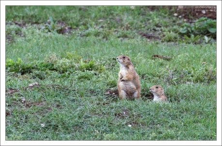 Prairie dogs перед входом в нору.