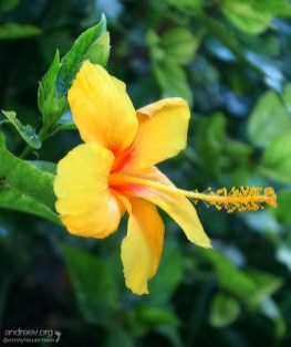 Ярко-желтый цветок гибискуса.
