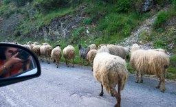 Отара овец на дороге. Vikos-Aoos National Park.
