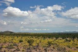 Желтый ковер пустыни (растение Dogweed).