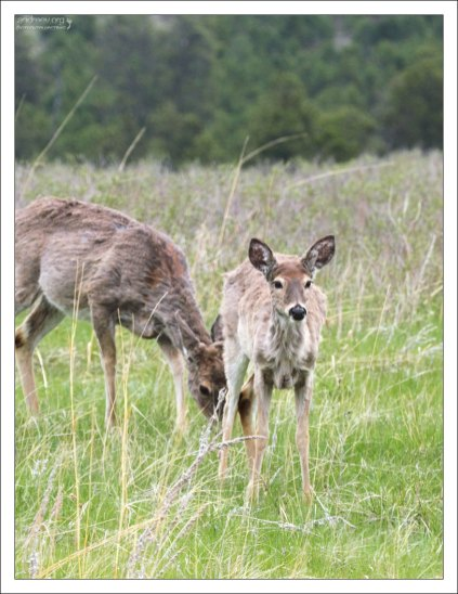 Самка Mule deer с олененком.