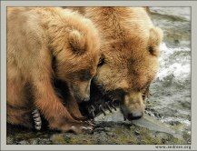 """""""Кушать подано"""". Мама-медведица кормит одного из трех медвежат только что выловленным лососем. Процесс для наблюдения не из самых приятных, т.к. рыба раздирается на куски еще живьем. Но это медвежий мир."""