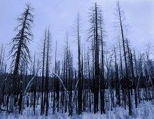 Выгоревший лес вдоль дороги Big oak flat road. Следы пожара 1997 года.