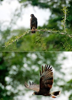 Улитковый коршун (Snail Kite) в ожидании подходящего момента, и в полете. Заповедник Crooked Tree sanctuary.