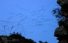Летающие мыши, отправляющиеся на ночную охоту.