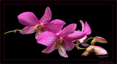 Дикая розовая орхидея.
