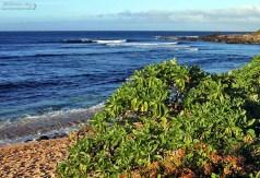 Куст гелиотропа (Tournefortia argentea) на пляже Ho'okipa.