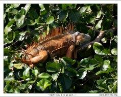 Ярко-оранжевый самец игуаны пытается заснуть в кроне дерева.
