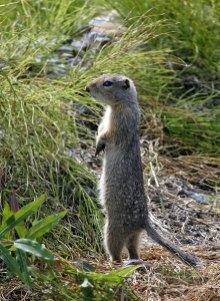Евражка (Ground squirrel) на стреме.