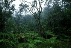 Rain forest. Hawai'i Volcanoes National Park.