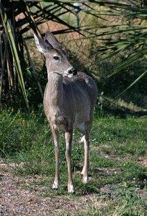 Олененок-попрошайка (Mule deer).