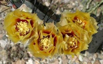 Наполненные пыльцой бутоны грушевидного кактуса.
