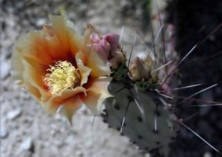 Желто-оранжевый бутон грушевидного кактуса.