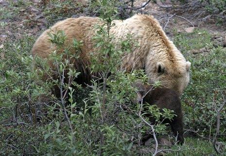 Огромная мама-гризли и крохотный медвежонок.