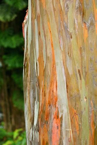 Разноцветная кора радужного эвкалипта. Дендрарий Ke'anae Arboretum.