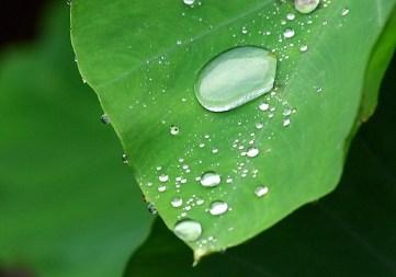 Лист растения таро с капелькой росы.