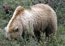 Медведица в зарослях любимой ягоды soap-berry.