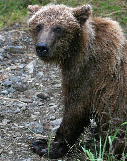 Испуганный и мокрый медвежонок.