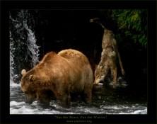 """""""Про медведей и волков"""". Волчица, ворующая рыбу у медведя."""