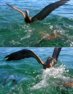 Олуша украла у акулы рыбью тушку.