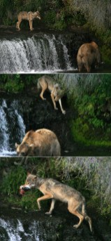 Как правильно украсть рыбу у медведя: 1. Засечь подходящего кандидата 2. Незаметно подобраться 3. Дождаться, пока отвернется, схватить, и бежать!