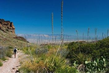 Кусты сотола в начале Соснового каньона (Pine Canyon trail).