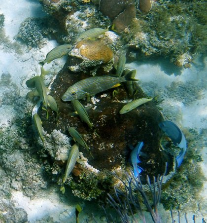 Сине-полосатые ронки (Bluestriped Grunts) и их вожак - group-master, превышающий размерами своих сородичей почти в три раза. Coral Gardens.