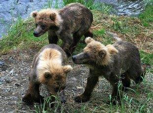 Трое медвежат подбираются к водопаду.